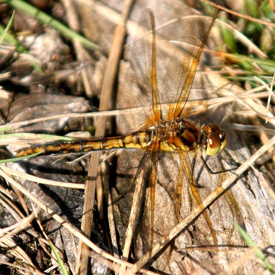 Saffron-winged Meadowhawk - Sympetrum costiferum - female
