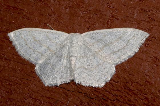 Scopula species - either quinquelinearia or junctaria - Scopula quinquelinearia