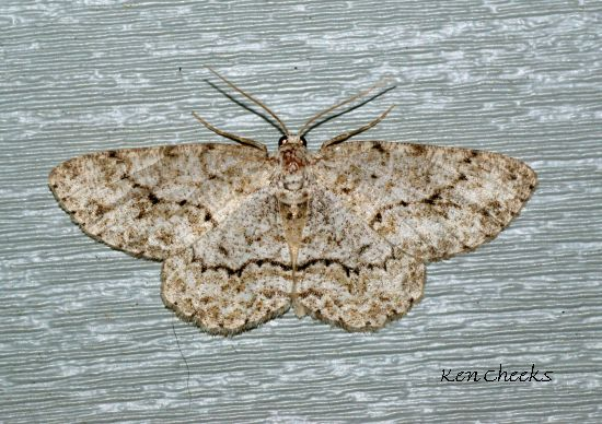 Which Moth? - Ectropis crepuscularia