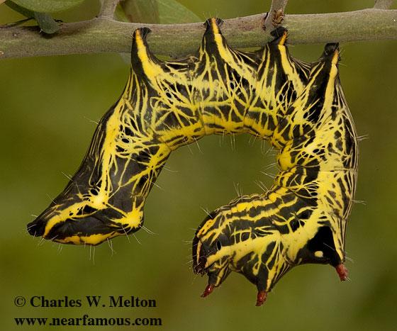 Crinodes biedermani larva - Crinodes biedermani