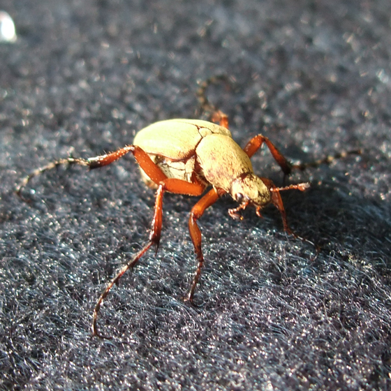 Rose chafer (Macrodactylus subspinosus) ? - Macrodactylus