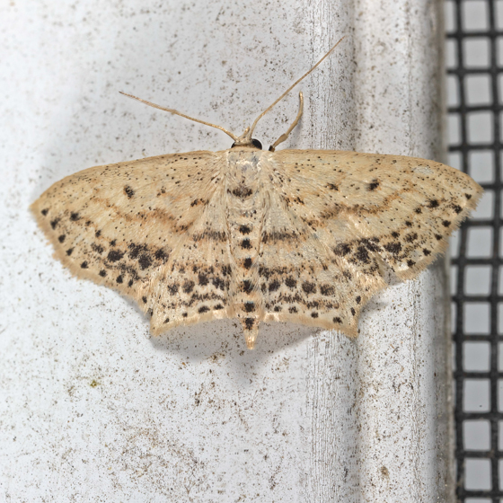 Frosted Tan Wave Moth - Scopula cacuminaria