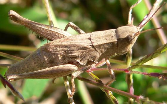 Short-winged Green Grasshopper - Dichromorpha viridis - female