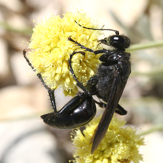 Large black wasp - Prionyx atratus - female