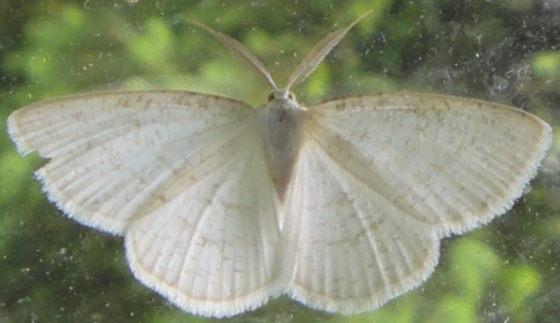 Unidentified moth - Cabera erythemaria