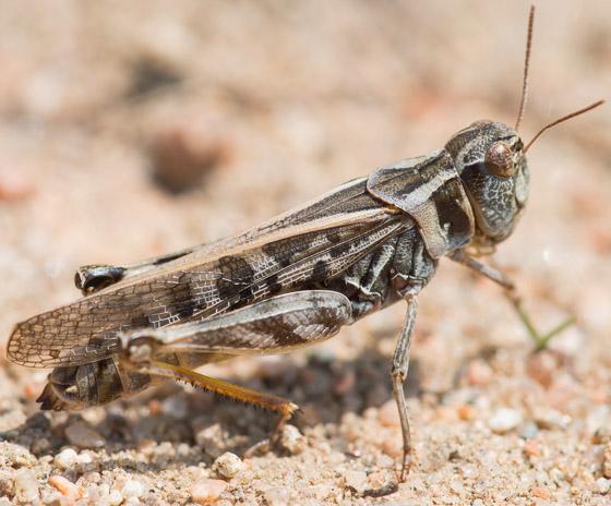 Camnula pellucida - female
