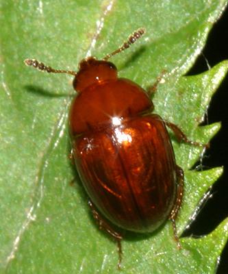 fungus beetle - Leiodes