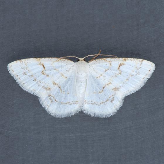 6270 Virgin Moth  - Protitame virginalis - female
