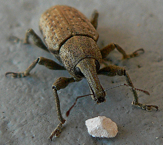 Some type of beetle? - Listronotus scapularis
