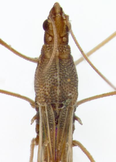 Berytidae, dorsalXX - Jalysus wickhami