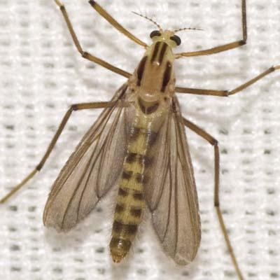 Midge - Xylotopus par - male