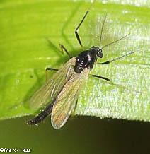 Paratendipes albimanus - male