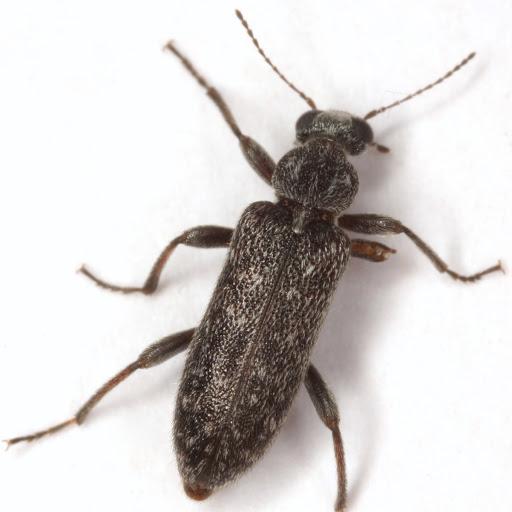 Eurygeniine - Duboisius