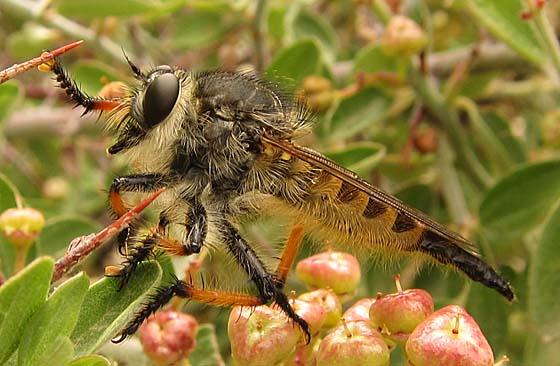 orange-legged robber fly - Promachus sackeni - female