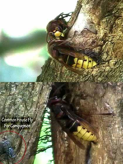 As Big As Cicada Killers - Vespa crabro