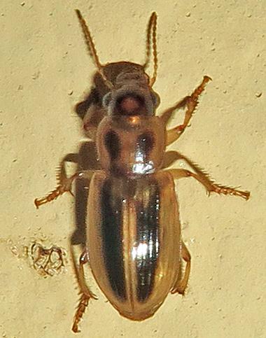 Subgenus Agonoderus? - Stenolophus