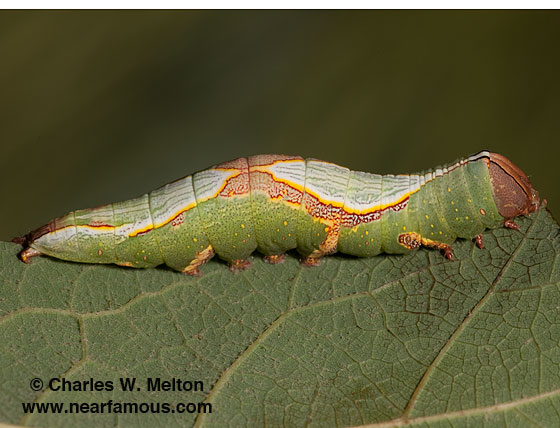 Heterocampa averna 24 day old larva - Heterocampa averna