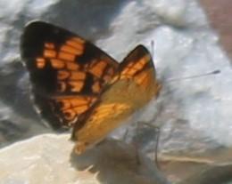 Pearl Crescent - Phyciodes tharos