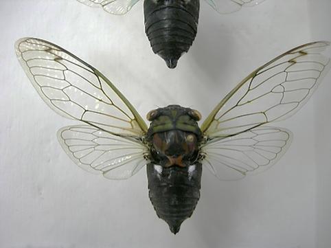 Tibicen tibicen australis (MALE 007) - Neotibicen tibicen - male