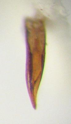 Agabus phaeopterus (Kirby) - Agabus phaeopterus - male
