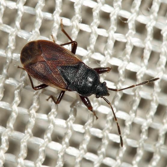 Rhyparochromid - Drymus unus