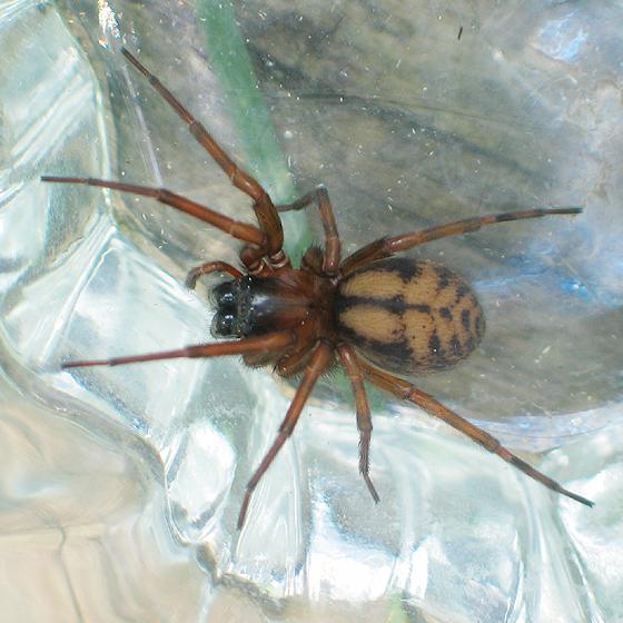 Wood Pile Spider - Callobius pictus - female