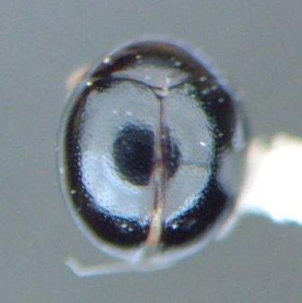 Rhymbomicrus lobatus