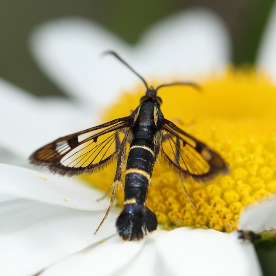 A clearwing moth?  But which one? - Synanthedon tipuliformis