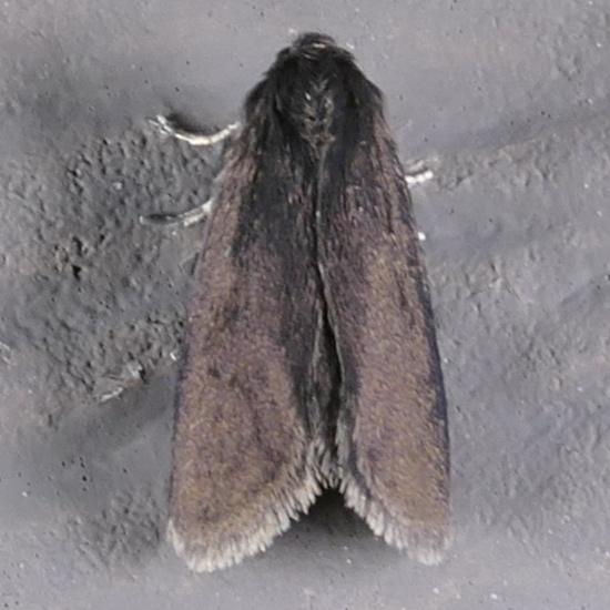 Common Bagworm - Psyche casta