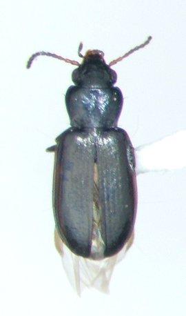 Tachyta angulata
