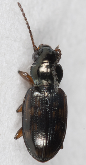 Ground Beetle - Bembidion mimus