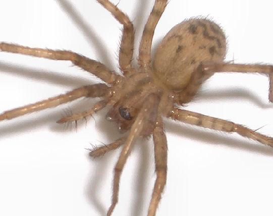 Marvelous Light Brown Spider   Tegenaria Domestica   Female
