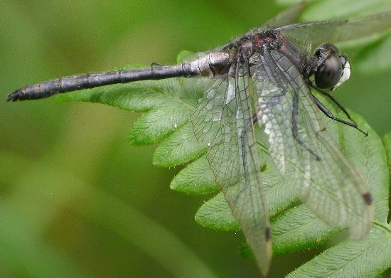 whiteface - Leucorrhinia proxima - male