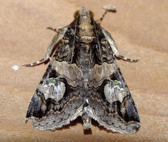 Melipotis - Melipotis famelica