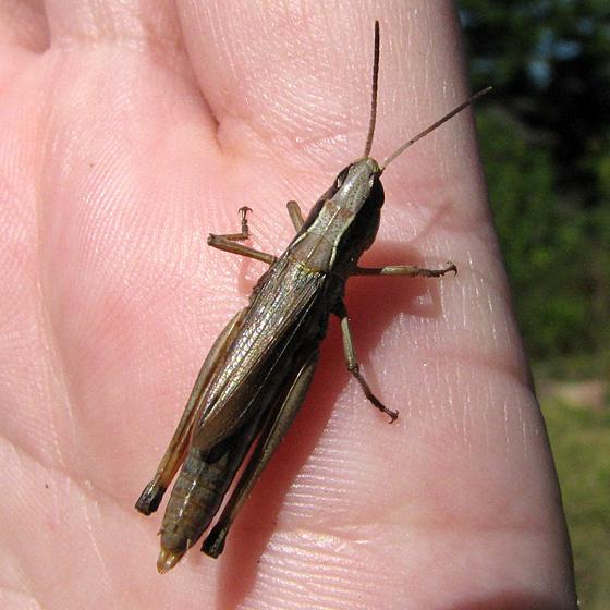Half-blind Grasshopper - Chorthippus curtipennis - female