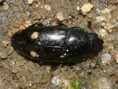 4-spotted Sap Beetle? - Glischrochilus siepmanni