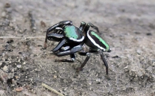 Jumping Spider - Messua limbata - male