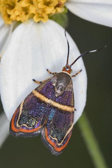 Hemerophila diva adult - Hemerophila diva