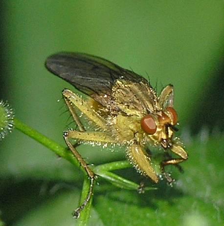 Golden Dung Fly - Scathophaga stercoraria