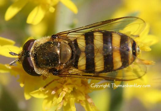 Syrphid Fly? - Eupeodes americanus