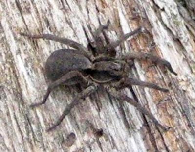 Another Wolf Spider - Hogna frondicola