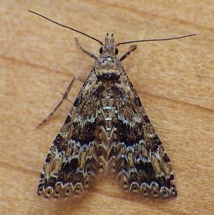 Alucitidae: Alucita montana? - Alucita