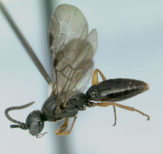 Mystery orchard wasp - Sierolomorpha canadensis - male
