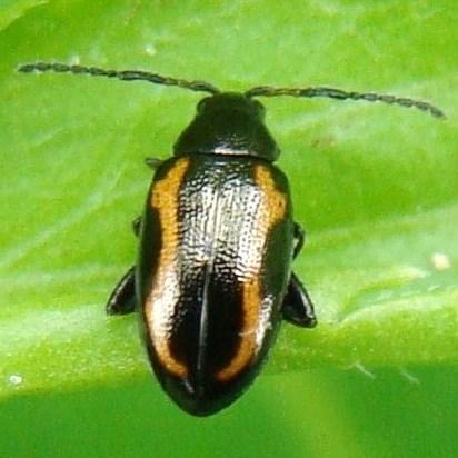 Phyllotreta - Phyllotreta zimmermanni