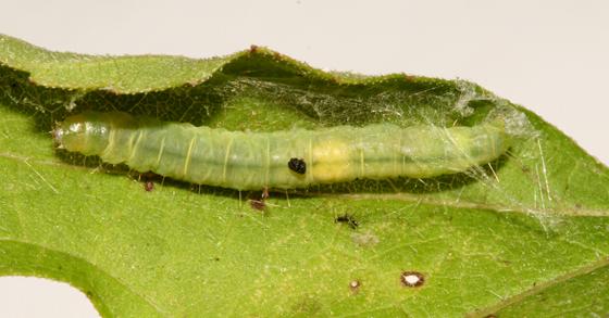 Tortricidae, larva - Xenotemna pallorana