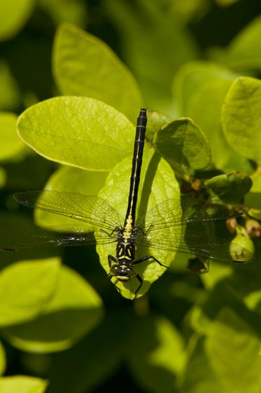 Black and yellow dragonfly - Lanthus vernalis