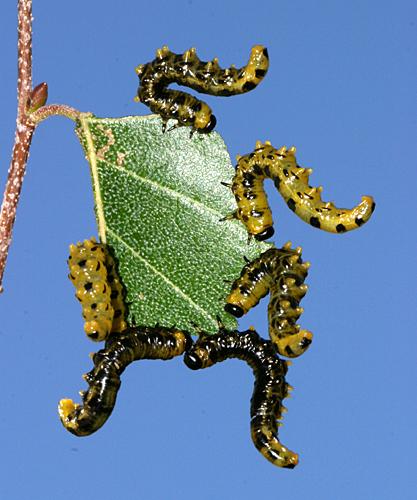 sawfly larva - Craesus latitarsus