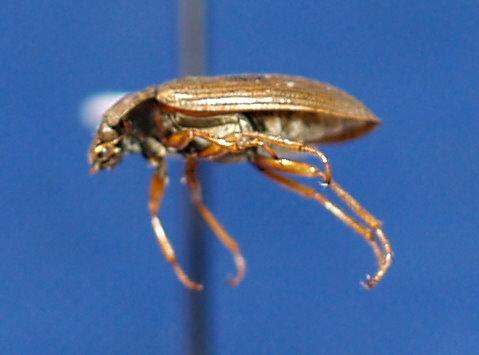 H. grandis - Helophorus grandis