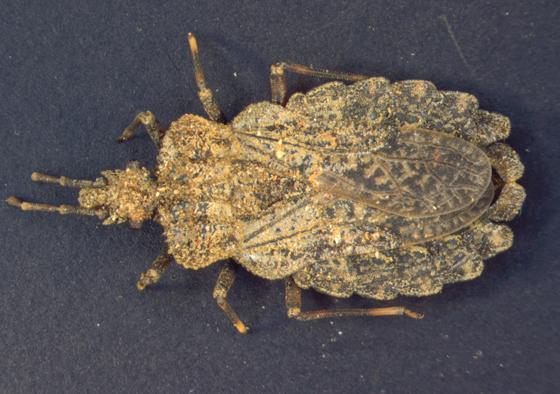 Aradidae, dorsal - Aradus crenatus