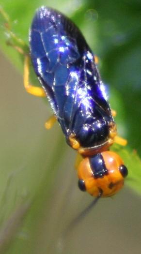 Sawfly? - Onycholyda amplecta - female